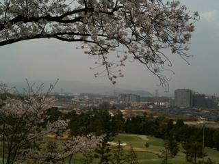 カントリーの桜