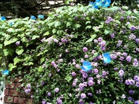 なごりの夏:朝顔の花
