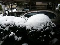 柊に積もる雪