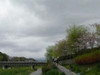 鴨川土手の散る桜