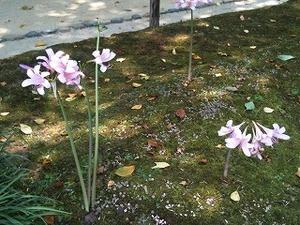 花:後楽園にて