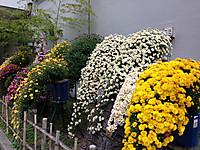 市役所横の菊